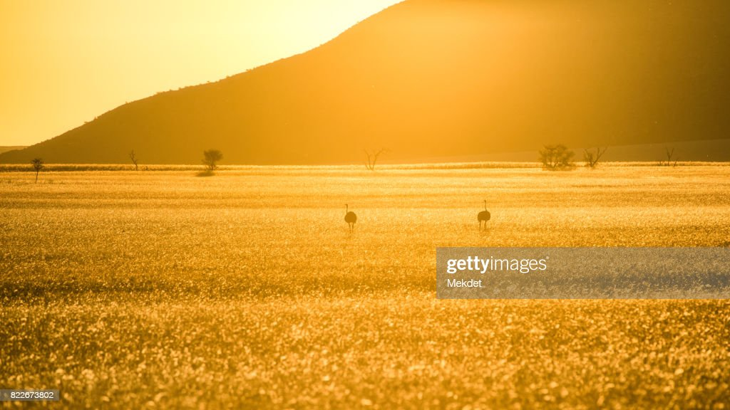 The landscape of savannah field and the mountain in golden hour with the two ostriches, Namibia : Stock Photo