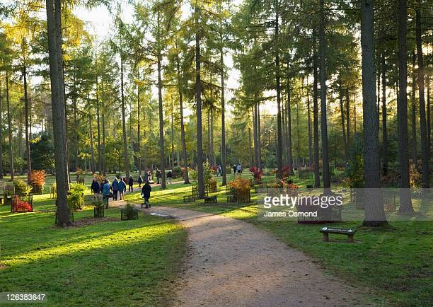 the larch grove at westonbirt arboretum. gloucestershire. england. uk. - gloucestershire stock pictures, royalty-free photos & images