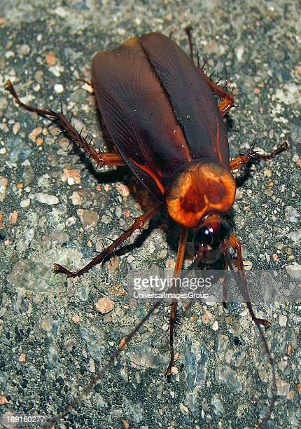 The large asian street Cockroach Hong Kong China Hong Kong China