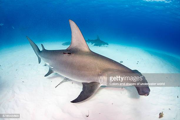 the large one - south bimini stock photos and pictures