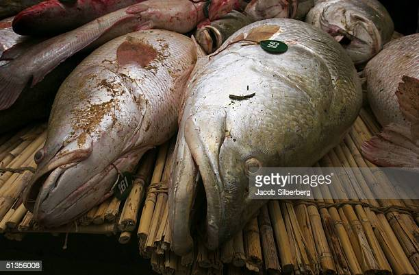 The largest fish are weighed during the Argungu Fishing Festival March 20 in Argungu Nigeria The Argungu Fishing Festival was first held in 1934 Then...
