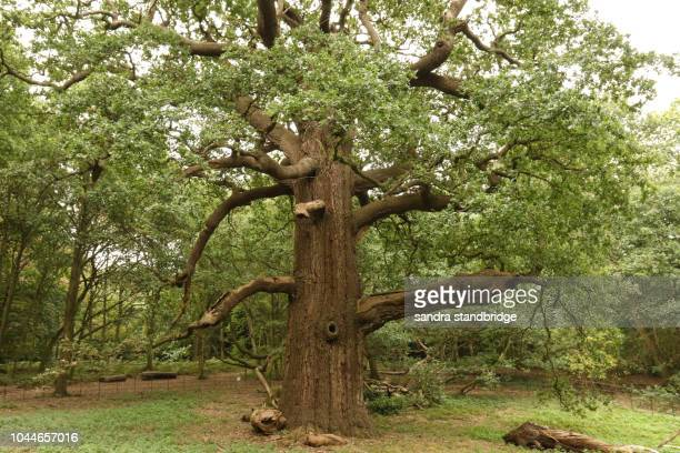 the largest great oak or maiden oak or clear stemmed oak in the country at panshanger park in the uk. - 最大 ストックフォトと画像