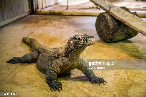 The largest lizard of the world, the Komodo dragon seen at the Nyiregyhaza Animal Park. The Nyiregyhaza Zoo lies in a natural, almost untouched birch...
