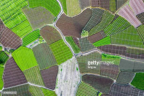 the largest tea garden in china (songyang damu mountain tea garden) - biggest stock pictures, royalty-free photos & images