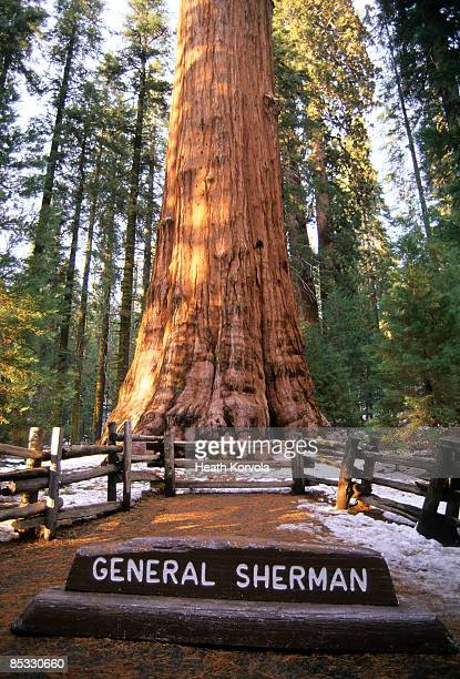 the largest tree in the world, general sherman. - general sherman stock photos and pictures