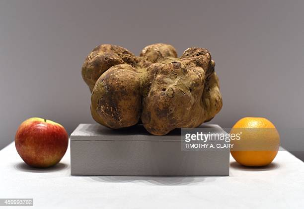 The largest white truffle in the world is on display at Sotheby's New York on December 5, 2014. The truffle was found last week in the Umbrian region...