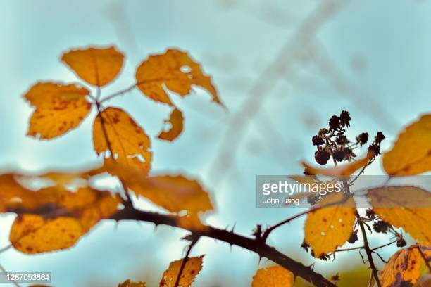 the last blackberries - mulhouse stock pictures, royalty-free photos & images
