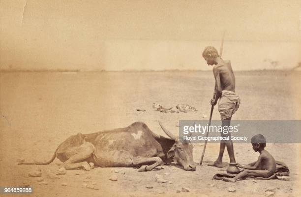 The last of the herd in Madras Tamil Nadu India 1876 Madras Famine 18761878