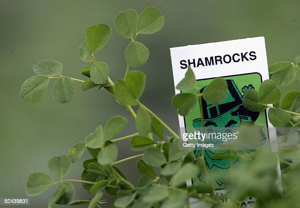 The last pot of shamrocks is seen at Cecil Geddis nursey on March 17 2005 Warringston Lurgan Northern Ireland The term shamrock derives from the...