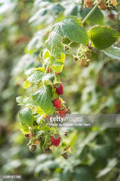the last raspberries of the year - last stock pictures, royalty-free photos & images