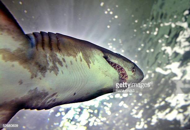 The last Sand Tiger brought to the aquarium of the northern Spanish Basque city of San Sebastian was officially given the name of Kontxita 22 April...
