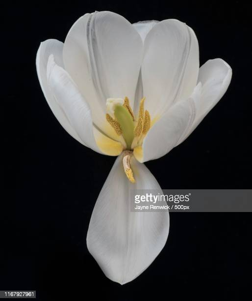 the last tulip - last stock pictures, royalty-free photos & images
