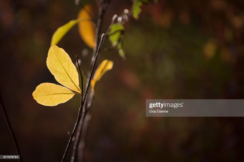 The Last Yellow Autumn Leaves On A Magnolia Tree Stock Photo Getty