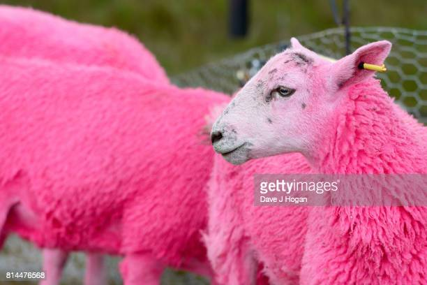 pink sheep stock photos and pictures getty images