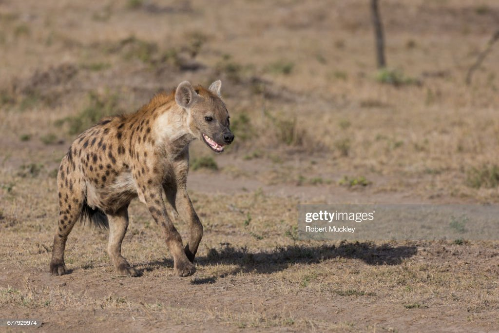The Laughing Hyaena : Stock Photo