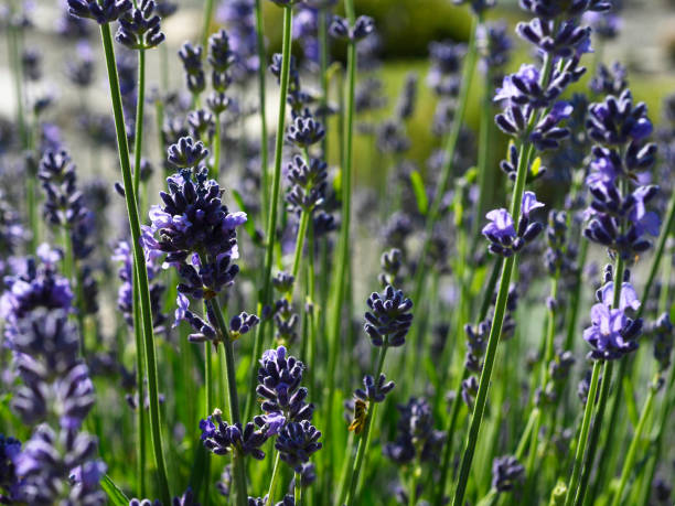 Denver Botanic Gardens at Chatfield Farms Lavender garden Pictures ...