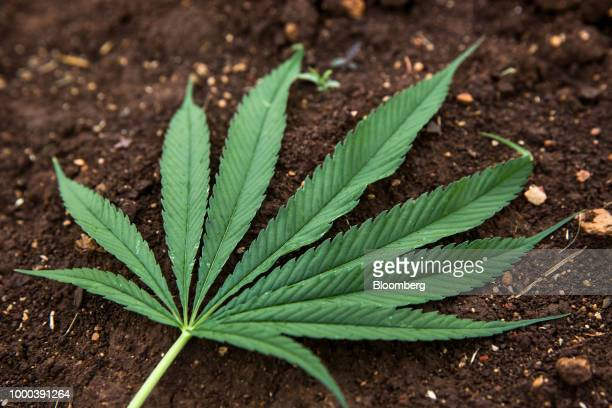 The leaf of a hemp plant grown in a field for medical research purposes is displayed for a photograph at the Royal Agricultural Station Pang Da in...