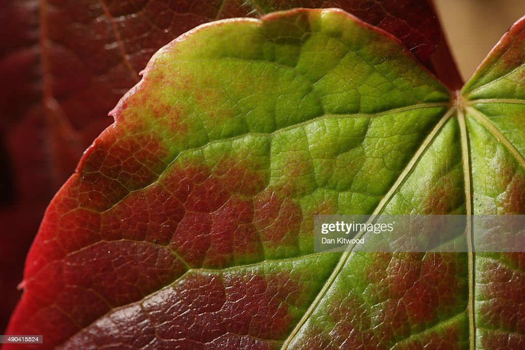 The leaf of Boston Ivy catches the sunlight in a park on September 28, 2015 in London, England. Warm weather is set to continue with temperatures predicted to reach 22 degrees in the South of the country.