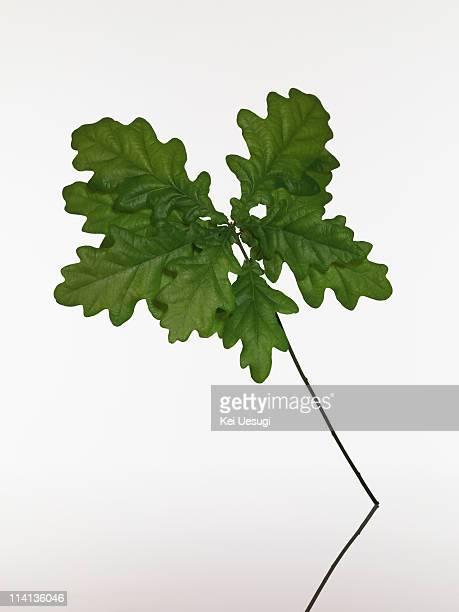 the leaf. - foglia di quercia foto e immagini stock