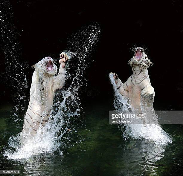 the leaping splash white tiger - white tiger stock photos and pictures