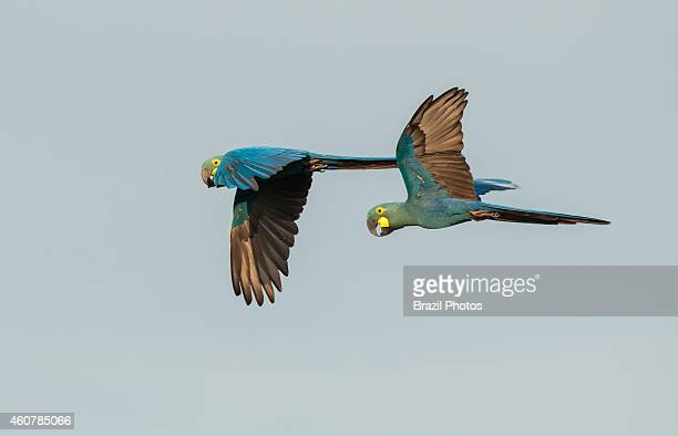 The Lear's Macaw , also known as the Indigo Macaw , a large all-blue Brazilian parrot currently listed as an endangered species at Caatinga...