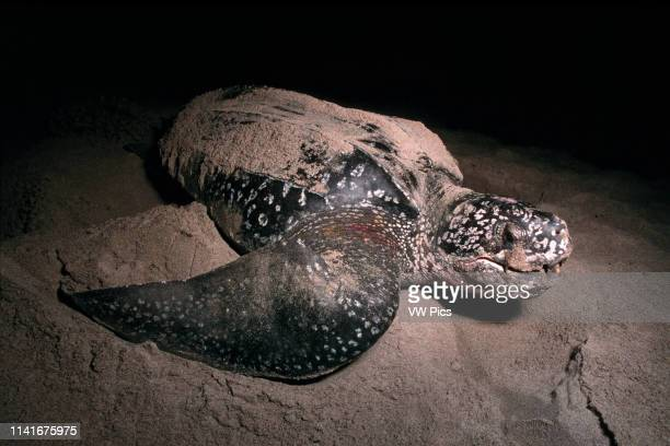 The Leatherback Turtle, Dermochelys coriacea, is a deep-diving, open ocean resident. Adults can weigh over 2000 pounds and grow to 8' on a diet of...