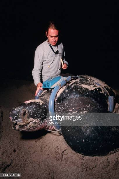 The Leatherback Turtle, Dermochelys coriacea, is a deep-diving, open ocean resident. Marine scientists use satellite tracking to discover migration...