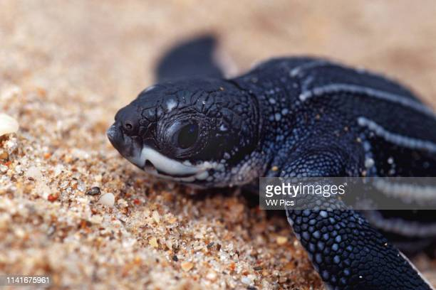 The Leatherback Turtle Dermochelys coriacea is an open ocean resident Hatchlings may be only two inches long but adults can grow to 8' and weigh over...