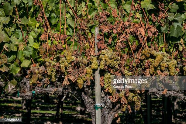 The leaves of a Dry Creek Valley cabernet sauvignon grapevine begin to die due to a rodent issue on October 11 near Healdsburg California A cool...