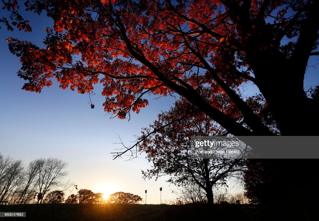 The leaves of a maple tree are lit by late afternoon sun at Gilsland Farms Audubon Center in Falmouth.