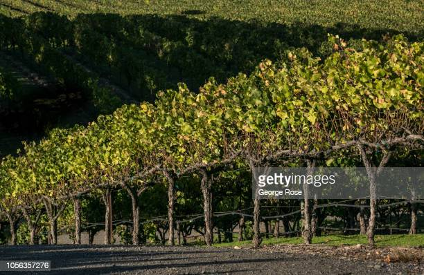 The leaves of a Russian River Valley pinot noir grapevine begin to turn color on October 11 near Healdsburg California A cool spring and mild summer...