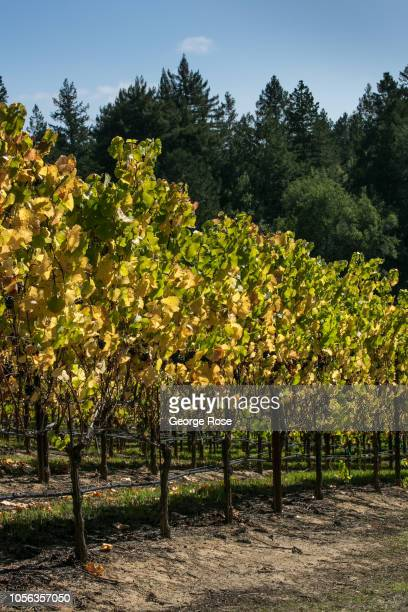 The leaves of a Russian River Valley pinot noir vineyard begin to turn color on October 11 near Sebastopol California A cool spring and mild summer...
