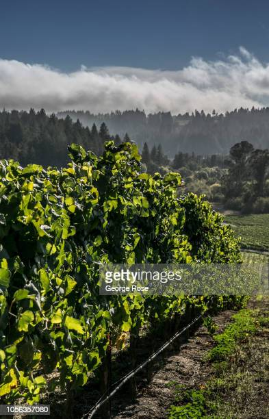 The leaves of a Russian River Valley pinot noir vineyard begin to turn color on October 9 near Sebastopol California A cool spring and mild summer...