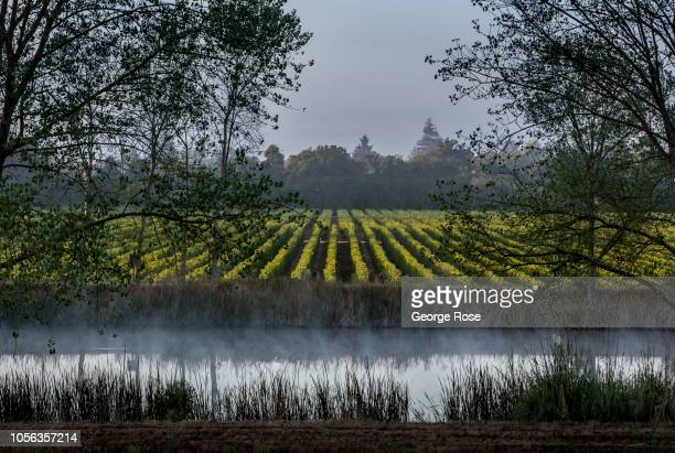 The leaves of a Russian River Valley pinot noir vineyard begin to turn color on September 21 near Healdburg California A cool spring and mild summer...