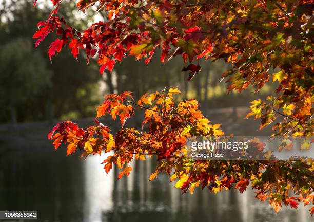 The leaves of a Russian River Valley tree begin to turn color on October 11 near Healdsburg California A cool spring and mild summer have contributed...