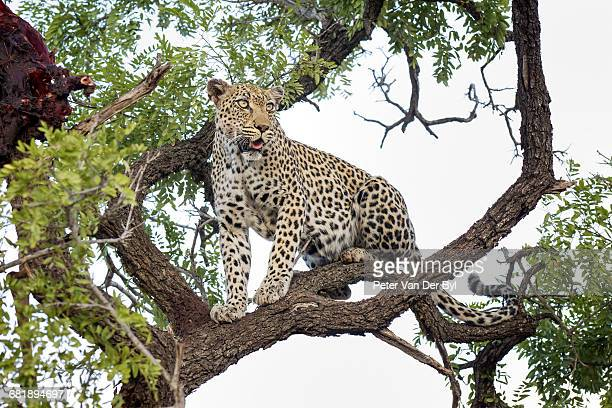 The leopard is extremely agile and is an expert at climbing trees which is used to store food as well as using it as a safe place to rest away from other predators. Here a female leopard seen sitting high up a tree