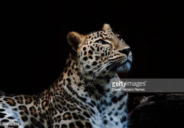 The leopard. Panthera pardus