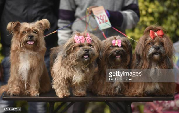 The Lhasa Apso breed dogs during a Dog Show at Punjabi Bagh Club, on February 3, 2019 in New Delhi, India.