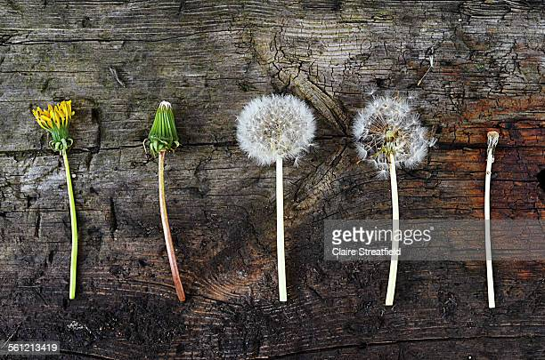 the life cycle (stages) of a dandelion weed/plant - mort concepts photos et images de collection