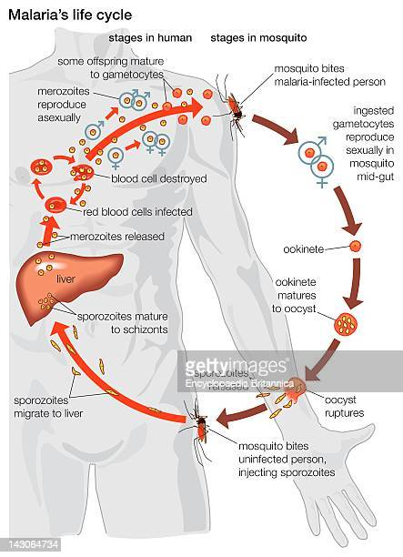 The Life Cycle Of A Malaria Parasite From Its Stages Within The Body Of A Mosquito To Those Within The Body Of A Human