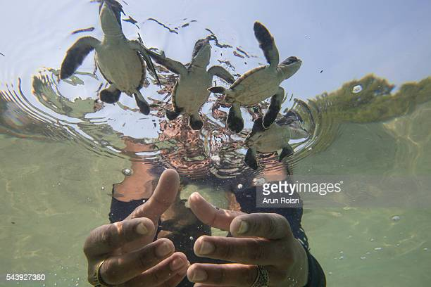 the life of sea turtle - releasing stock pictures, royalty-free photos & images