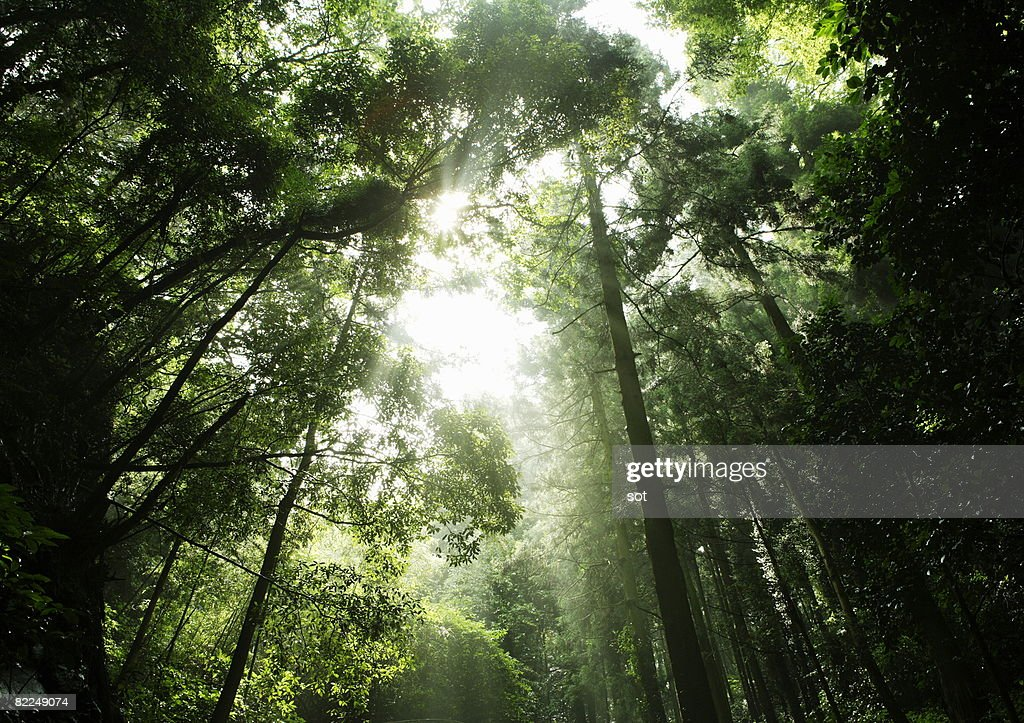 The light coming through the forrest : Stock Photo