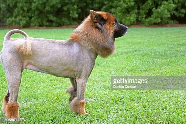The lion cut