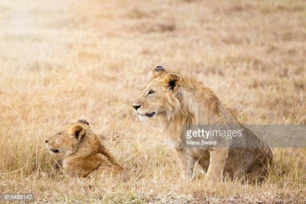 """""""the lion king"""", ngorongoro conservation area, tanzania - lion attack stock pictures, royalty-free photos & images"""