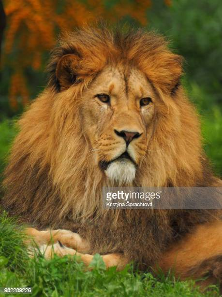 the lion - czech hunters stock pictures, royalty-free photos & images
