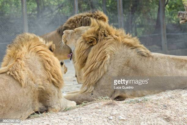 The lion sleeps tonight stock photos and pictures getty images