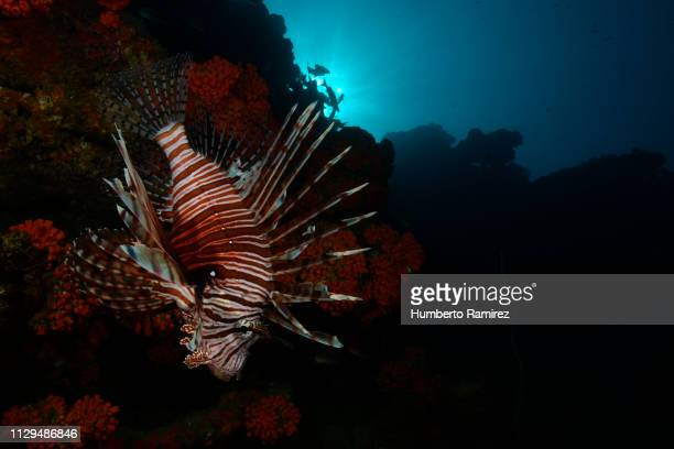 The Lionfish;an invader that threatens the Western Atlantic.