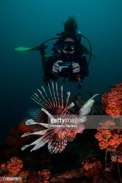the lionfish;an invader that threatens the western atlantic. - turismo ecológico fotografías e imágenes de stock