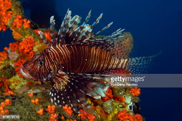 the lionfish;an invader that threatens the western atlantic. - exotic_species stock pictures, royalty-free photos & images