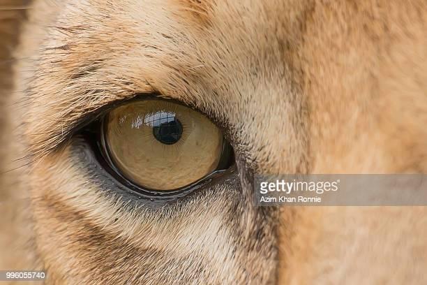 the lion's eye - leones cazando fotografías e imágenes de stock